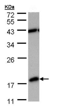 Western blot - PDE6 delta antibody (ab96825)