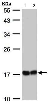 Western blot - Hsp22 antibody (ab96837)