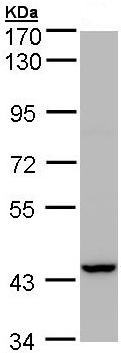 Western blot - PEX13 antibody (ab96841)