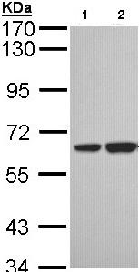 Western blot - SNX18 antibody (ab96843)