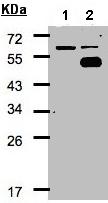 Western blot - COUP TF1 antibody (ab96846)