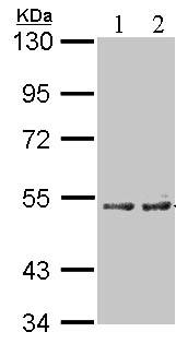 Western blot - Cytochrome P450 4A antibody (ab96853)