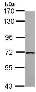 Western blot - Kinesin 2 antibody (ab96855)