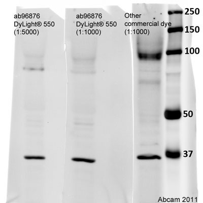 Western blot - Donkey polyclonal Secondary Antibody to Mouse IgG - H&L (DyLight® 550) (ab96876)