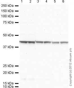 Western blot - Goat anti-Mouse IgG H&L (AP) secondary antibody (ab97020)