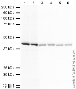 Western blot - Goat polyclonal Secondary Antibody to Mouse IgG - H&L (HRP) (ab97023)