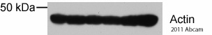Western blot - Rabbit polyclonal Secondary Antibody to Mouse IgG - H&L (HRP) (ab97046)
