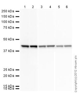 Western blot - Goat polyclonal Secondary Antibody to Rabbit IgG - H&L (HRP) (ab97051)