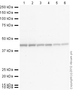 Western blot - Donkey polyclonal Secondary Antibody to Rabbit IgG - H&L (Alkaline Phosphatase) (ab97061)