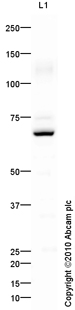 Western blot - Goat polyclonal Secondary Antibody to Rabbit IgG - H&L (HRP), pre-adsorbed (ab97080)