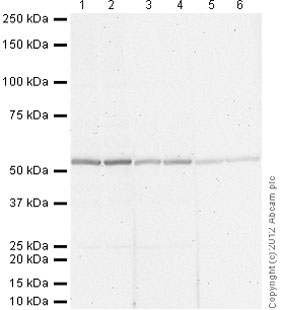 Western blot - Rabbit polyclonal Secondary Antibody to Goat IgG - H&L (AP) (ab97097)