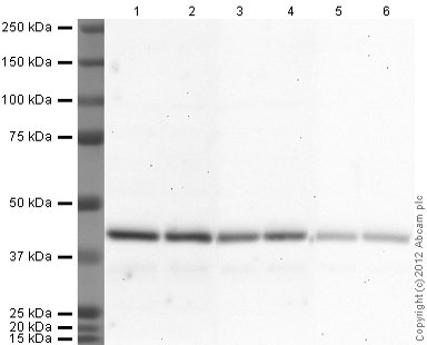 Western blot - Rabbit polyclonal Secondary Antibody to Goat IgG - H&L (HRP) (ab97100)