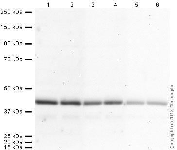 Western blot - Donkey polyclonal Secondary Antibody to Goat IgG - H&L (HRP) (ab97110)