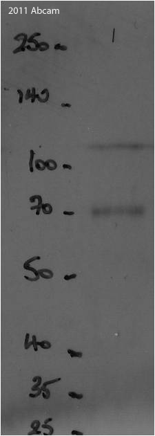 Western blot - Goat polyclonal Secondary Antibody to Chicken IgY - H&L (HRP) (ab97135)
