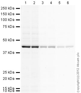 Western blot - Goat anti-Chicken IgY H&L (HRP) secondary antibody (ab97135)