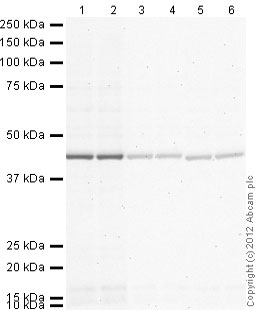 Western blot - Rabbit polyclonal Secondary Antibody to Chicken IgY - H&L (AP) (ab97137)