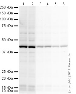 Western blot - Rabbit polyclonal Secondary Antibody to Chicken IgY - H&L (HRP) (ab97140)