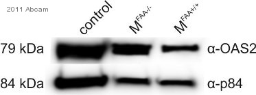 Western blot - Goat anti-Rabbit IgG Fc (HRP) secondary antibody (ab97200)