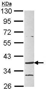 Western blot - GPCR GPR4 antibody (ab97271)