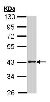 Western blot - GPCR GPR120 antibody (ab97272)
