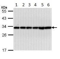 Western blot - 14-3-3 beta antibody (ab97273)
