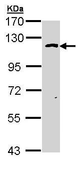 Western blot - O-Linked N-Acetylglucosamine Transferase antibody (ab97274)