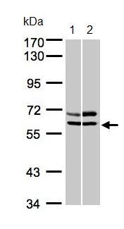 Western blot - AMPK alpha 2 antibody (ab97275)