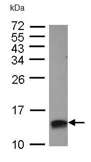 Western blot - HMGA2 antibody (ab97276)
