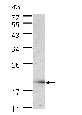 Western blot - Ube2G2 antibody (ab97279)