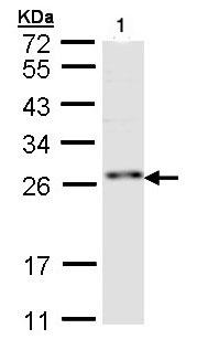 Western blot - ZNF313 antibody (ab97303)