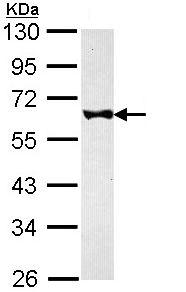 Western blot - FKBP52 antibody (ab97306)