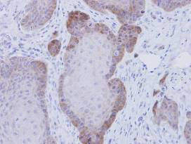 Immunohistochemistry (Formalin/PFA-fixed paraffin-embedded sections) - FKBP52 antibody (ab97306)