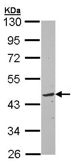 Western blot - TOM1L1 antibody (ab97309)
