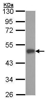 Western blot - ESE1 antibody (ab97310)