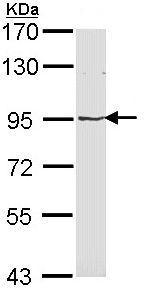 Western blot - MVP antibody (ab97311)