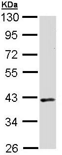 Western blot - DMC1 antibody (ab97313)