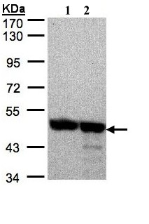 Western blot - Annexin VII antibody (ab97323)