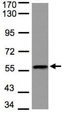 Western blot - DUSP8 antibody (ab97324)