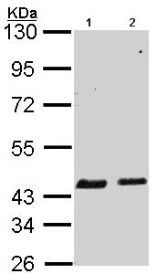Western blot - SerpinB6 antibody (ab97330)