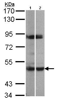 Western blot - PRAK antibody (ab97332)