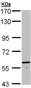 Western blot - 58K Golgi protein antibody (ab97341)