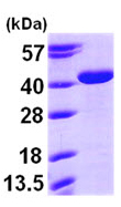 SDS-PAGE - Arg2 protein (ab97349)