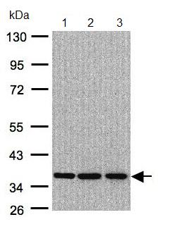 Western blot - XRCC4 antibody (ab97351)