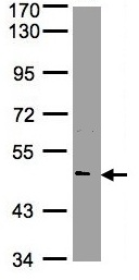 Western blot - Nova1 antibody (ab97368)