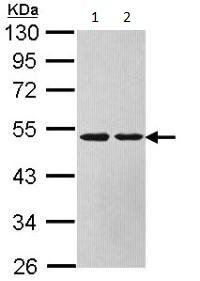 Western blot - Argininosuccinate Lyase antibody (ab97370)