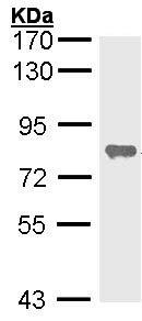 Western blot - Alkaline Phosphatase, Tissue Non-Specific antibody (ab97384)