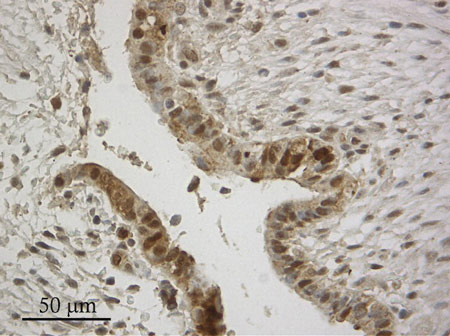 Immunohistochemistry (Formalin/PFA-fixed paraffin-embedded sections) - Anti-NQO1 antibody (ab97385)
