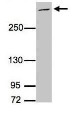 Western blot - MUC2 antibody (ab97386)