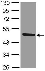 Western blot - IL1 Receptor II antibody (ab97388)