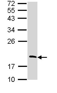 Western blot - RGS13 antibody (ab97394)